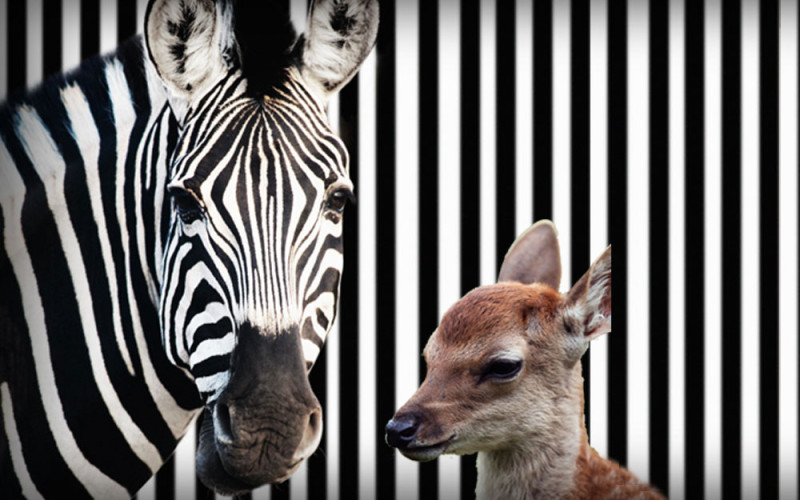 You Won't Believe It! A Zebra And A Deer Become Best Friends.