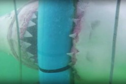 Gigantic Great White Shark Attacks Divers