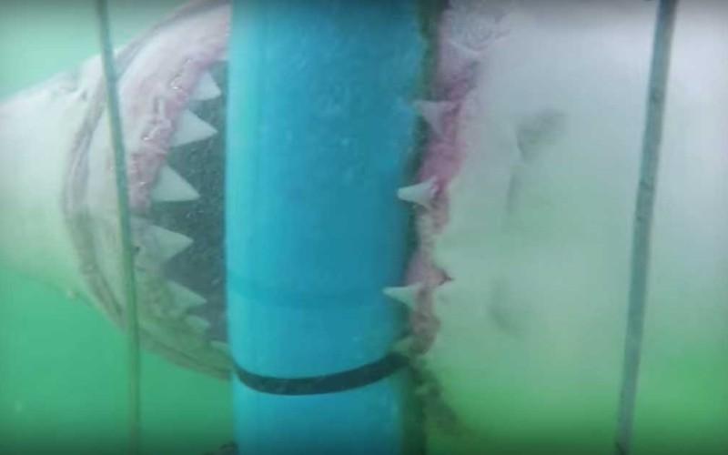 Gigantic Great White Shark Attacks Divers