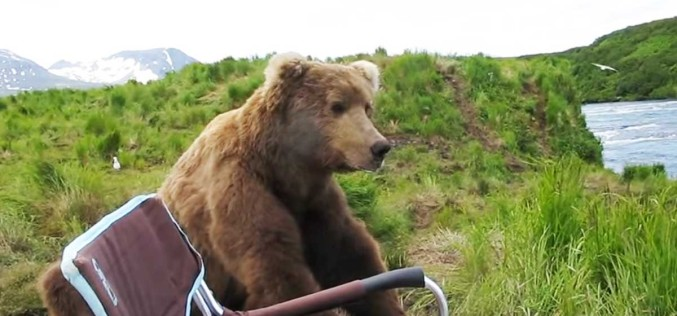 An Alaskan Brown Bear Sits Down Next To Camper To Enjoy The View