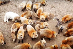 Fox Village: A Sanctuary To Over 100 Free-Roaming Foxes