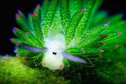 Amazing Sea Slug Runs On Solar Power And Looks Like A Tiny Sheep