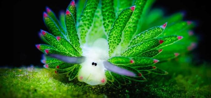 Amazing Sea Slug Runs On Solar Power And Looks Like A Tiny Sheep