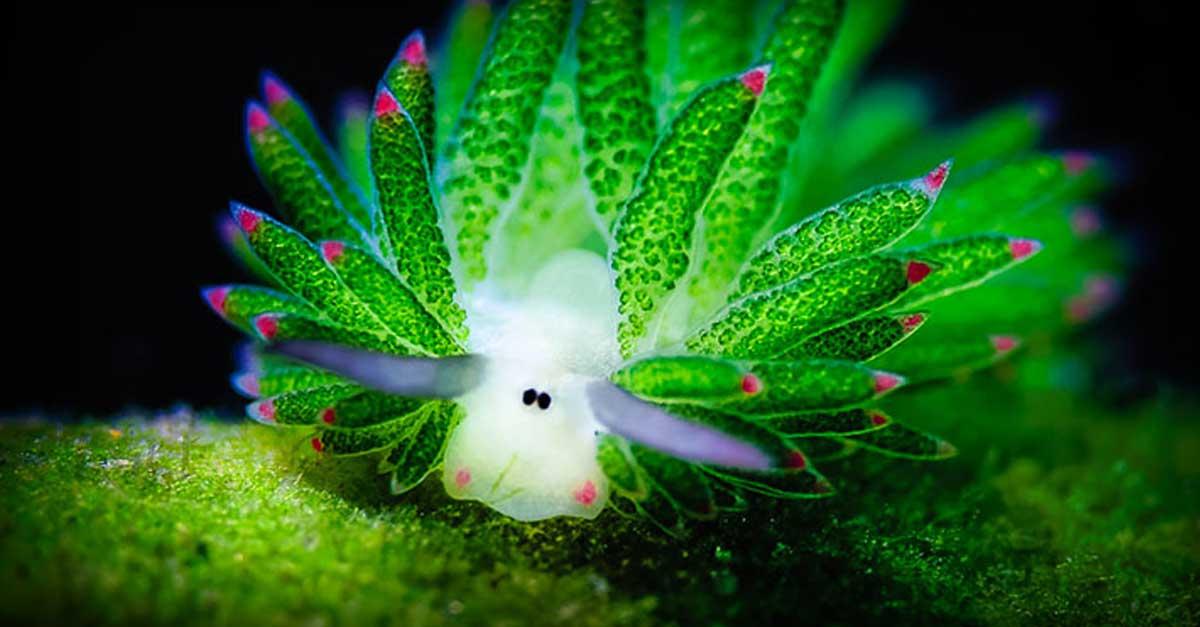 Amazing Sea Slug Runs On Solar Power And Looks Like A Tiny