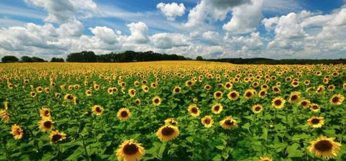 Wisconsin Man Plants 4-Mile Stretch of Sunflowers in Tribute to Late Wife
